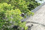 Fruit Bat inflight